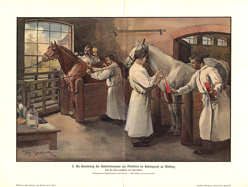 Serum pruduction in the stables at the Behringwerke (around 1905). The blood of horses was used to treat diphtheria.